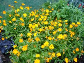 Marigolds galore