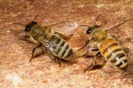 Italian Honey Bee - Apis mellifera lingustica