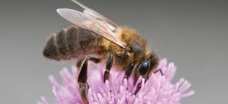 Native Irish Honey Bee - Apis mellifera mellifera